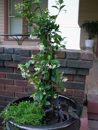 Confederate Jasmine