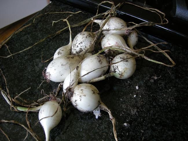 Garden Onions