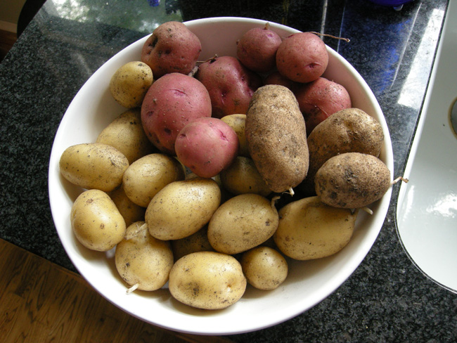 Backyard Garden Potatoes