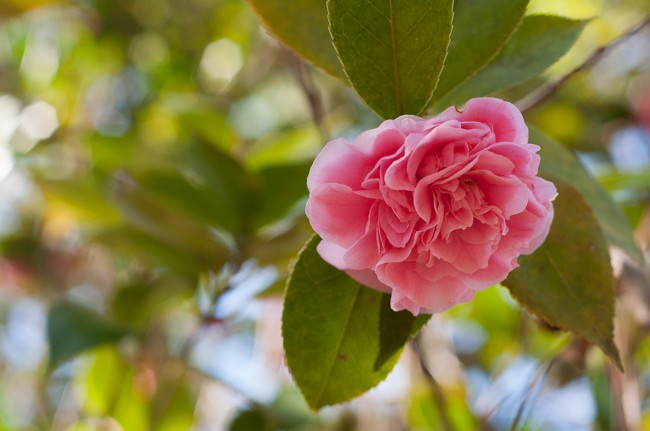 Camellia at Massee Lane Gardens