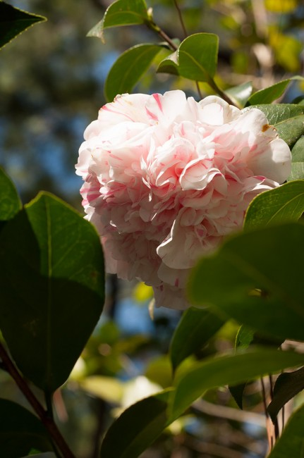 Esther Smith Camellia
