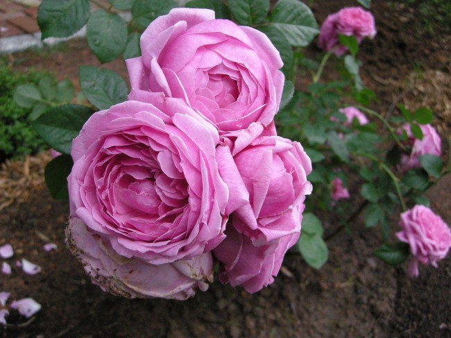 David Austin Bishop's Castle Rose